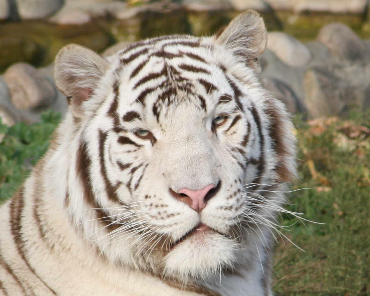 Кошки и тигры из пензенского цирка